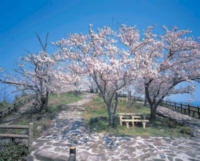 女木島の桜