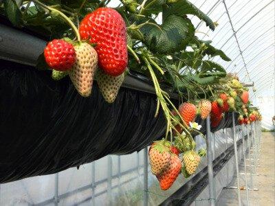 高設栽培で育てられた採りやすくおいしいいちご