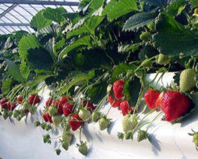 いちごは減農薬栽培方法で育てられている