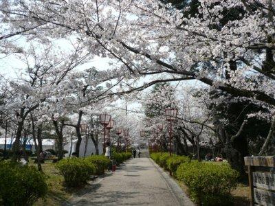 諏訪公園の桜
