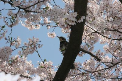 善福寺川緑地・和田堀公園の桜