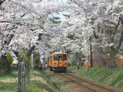 県立芦野公園の桜