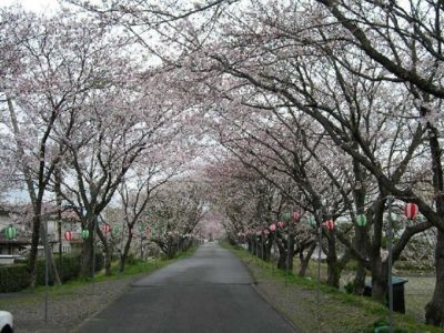 河原町旧堤防の桜