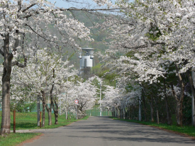美唄市東明公園の桜