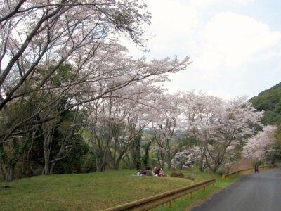 今富ダム公園の桜