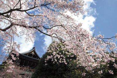 「総本山知恩院の桜」のお花見(京都市東山)