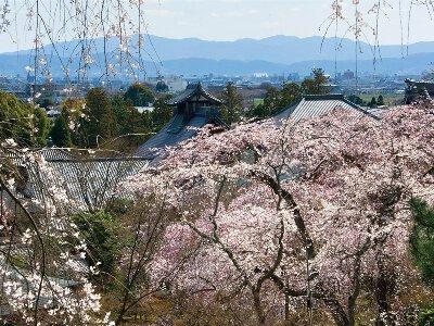 「天龍寺の桜」のお花見(京都市右京)