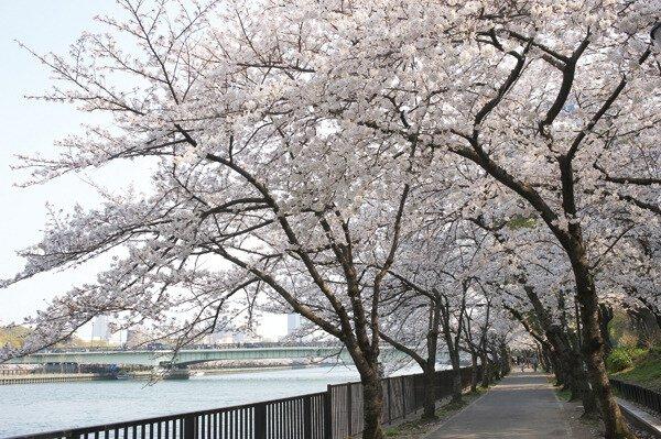 【桜・見頃】毛馬桜之宮公園