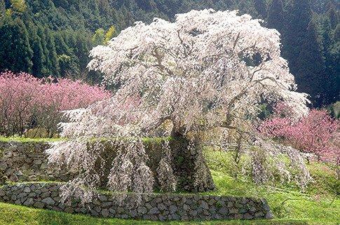 又兵衛桜の桜
