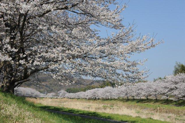 こだま千本桜の桜