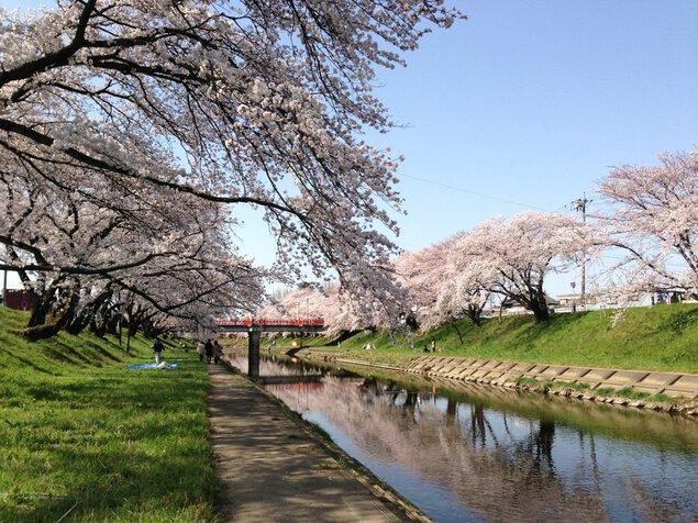 新境川堤の桜並木の桜