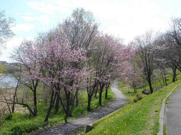 春採公園の桜