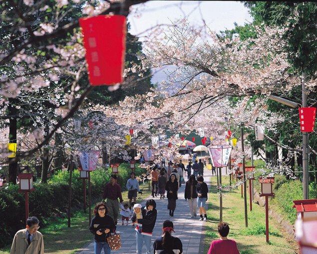 橘公園の桜