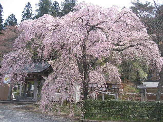 南湖公園・楽翁桜