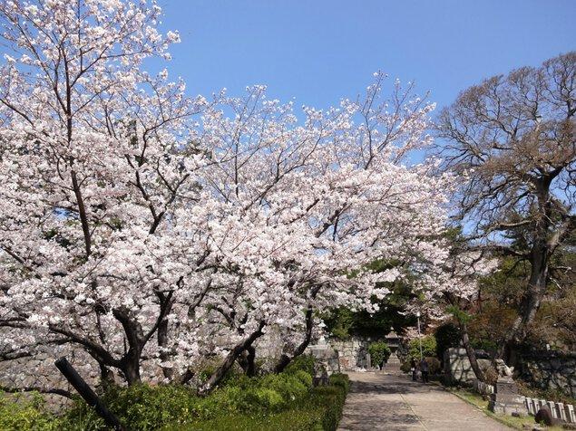 久留米城跡の桜