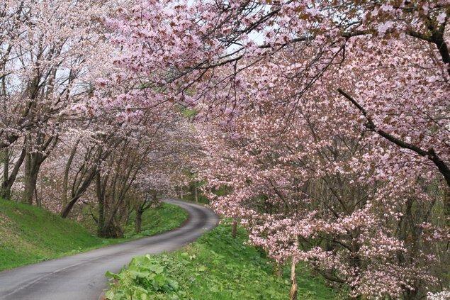 奈井江町にわ山森林自然公園の桜