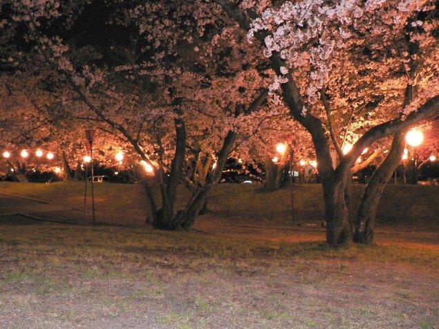 すすきヶ原入野公園の桜