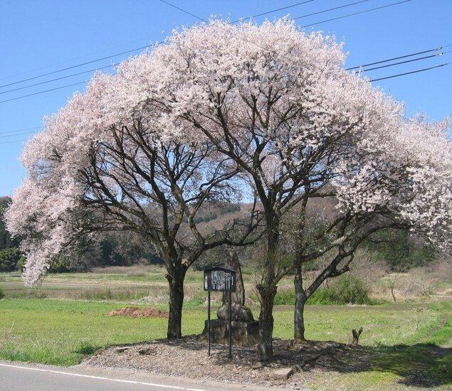 庄司戻しの桜