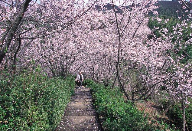 清水公園(清水山周辺)の桜