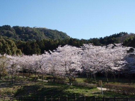 太宰府市民の森の桜