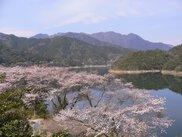 早明浦ダム周辺の桜