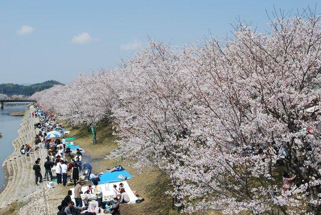 田布施川の桜