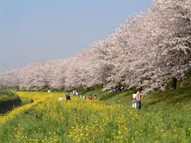 さくら堤公園の桜