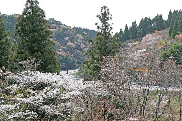 堀切峠の桜