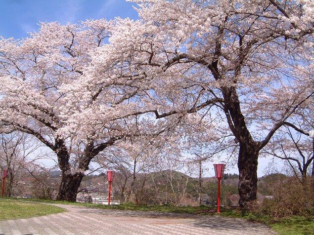 舘山公園の桜