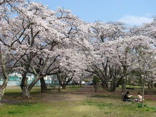 【桜・見頃】大衡中央公園