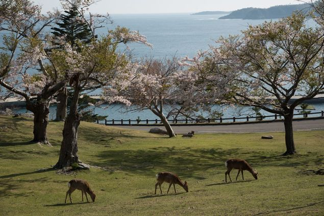 牡鹿半島 金華山の桜
