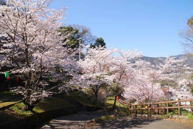 金竜山農村公園の桜