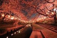 元荒川の桜並木