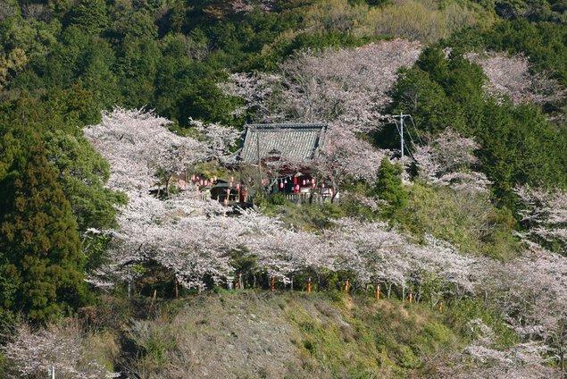 宿毛天満宮の桜
