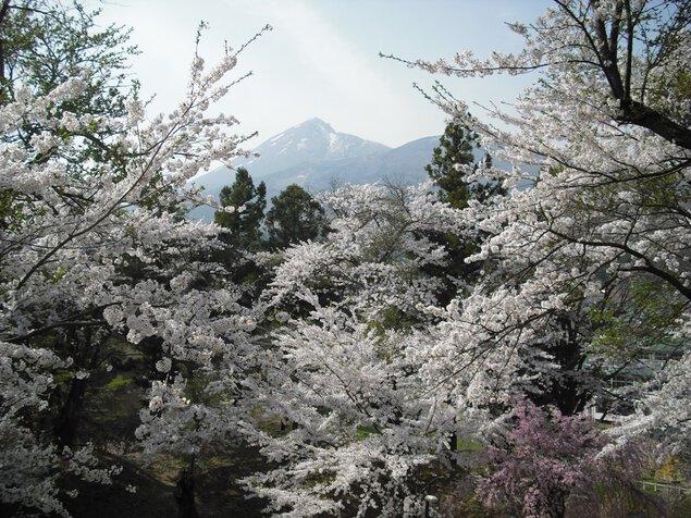 亀ヶ城跡の桜