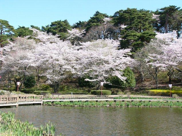 烏ケ森公園の桜