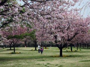 (公財)日本花の会 桜見本園
