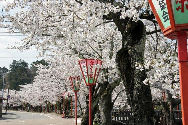 熊坂川河畔の桜