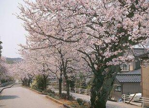 【桜・見頃】大堰宮公園