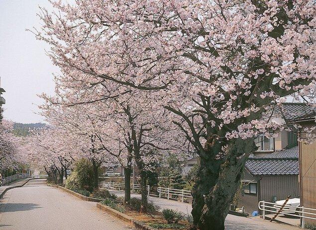 大堰宮公園の桜