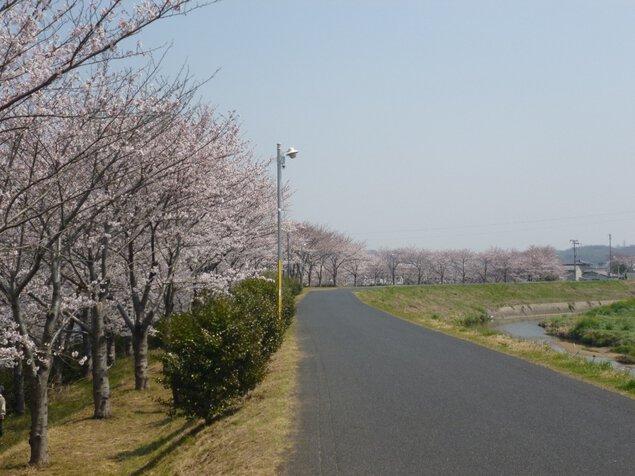 里見川周辺緑地の桜