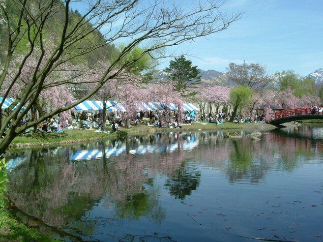 湯沢中央公園の桜