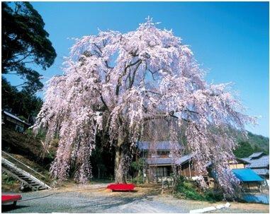 妙祐寺の「しだれ桜」の桜