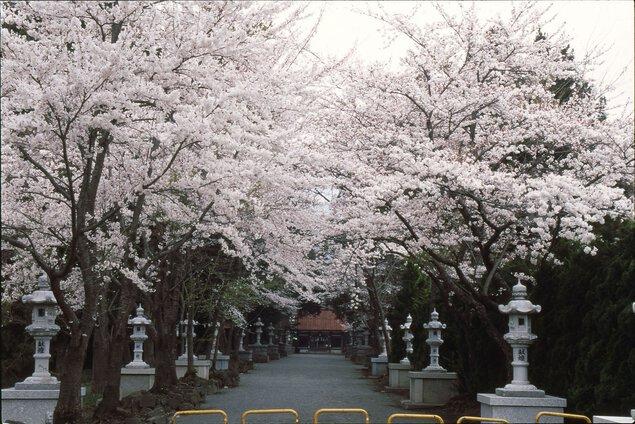 冨士御室浅間神社の桜