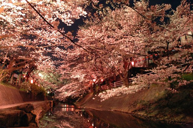 吉田川の桜