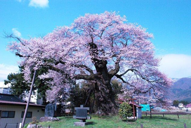 中曽根のエドヒガンの桜