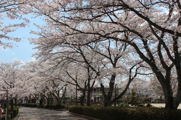 本町公園の桜