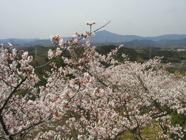 苗木さくら公園の桜