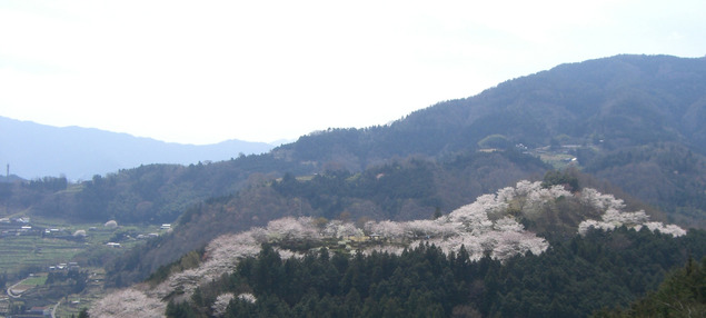 於安パークの桜