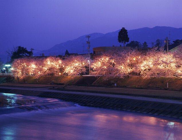 小矢部川公園千本桜の桜